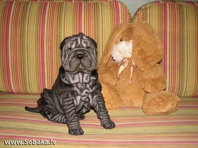 Собака для квартиры породы без запаха