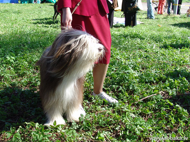 Bārdainais kollijs (Bearded Collie)