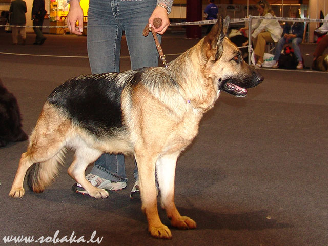 Vācu aitusuns (German Shepherd Dog) 