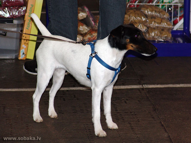 Gludspalvainais foksterjers (Fox Terrier - Smooth)