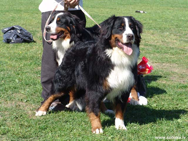 Bernes ganu suns (Bernese Mountain Dog)
