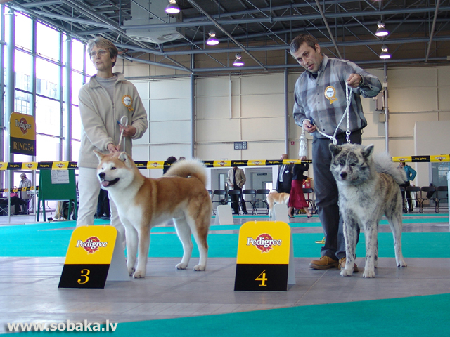 Akita 