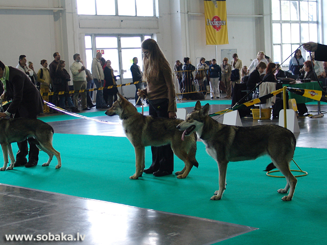 Sārlosa vilkusuns 