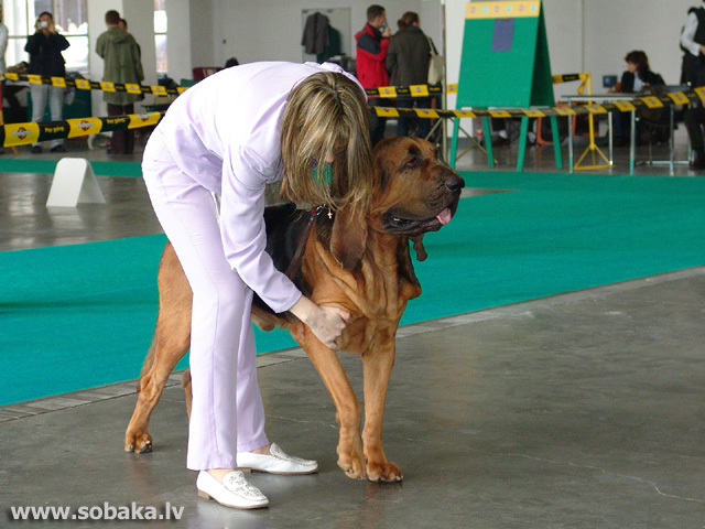 Bladhaunds 