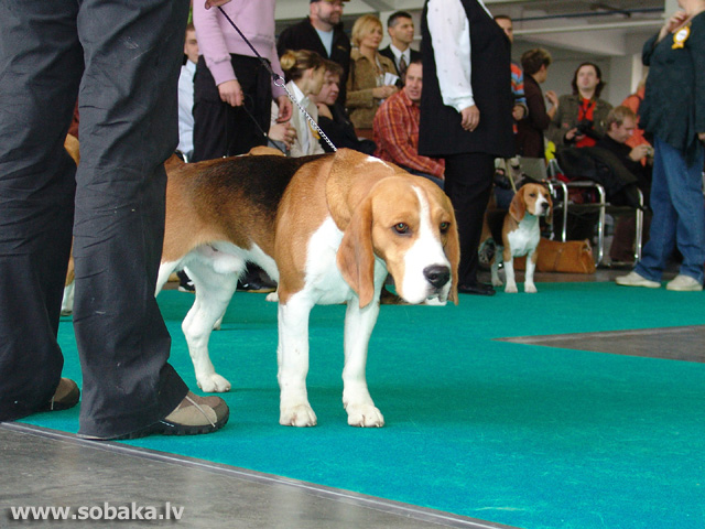 Bīgls 