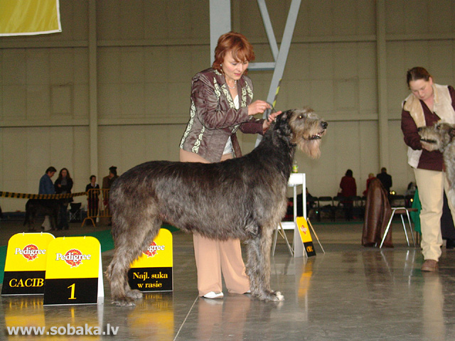 Īru vilku suns 
