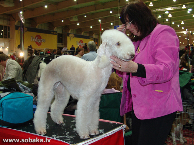 Bedlingtonterjers 
