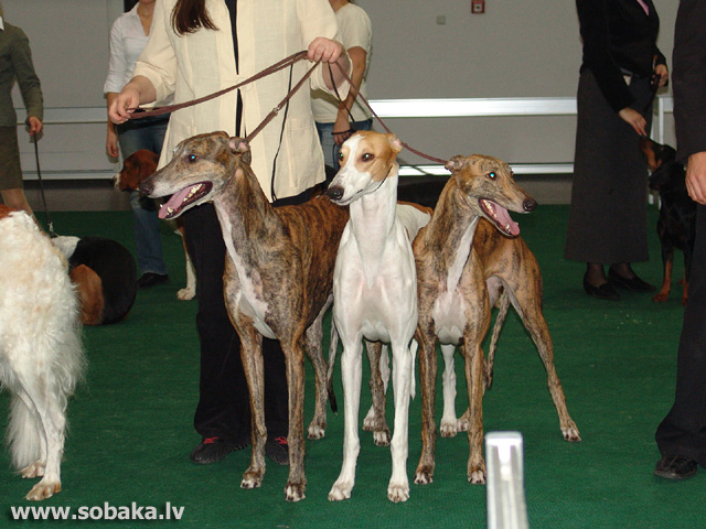 Greihaunds 