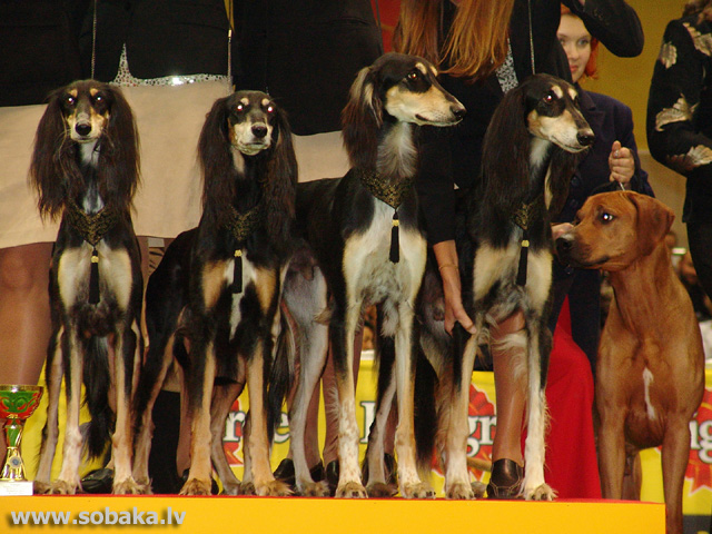 Saluki 