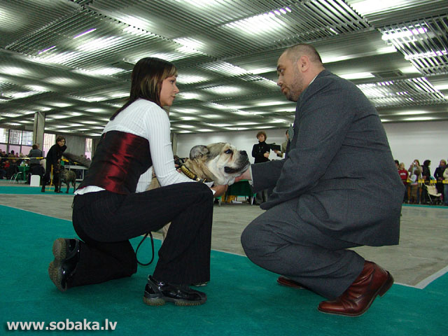Maljorkas buldogs 