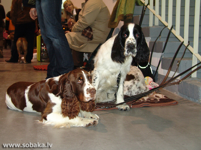 Angļu springerspaniels (English Springer Spaniel)