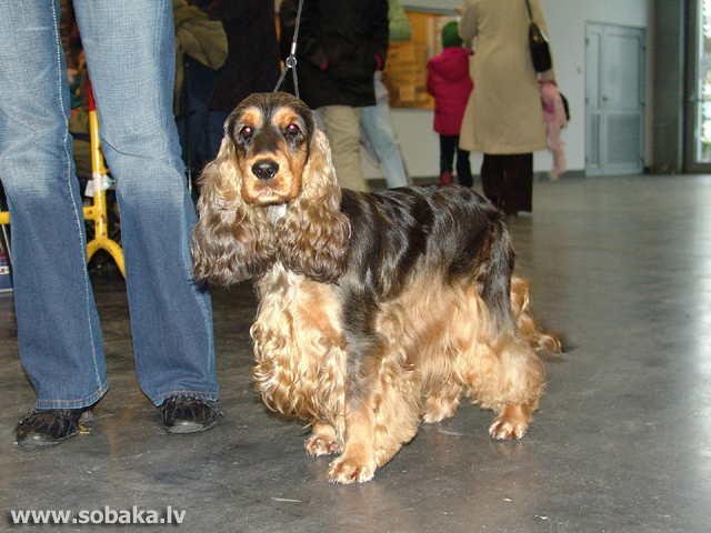 Angļu kokerspaniels (English Cocker Spaniel)
