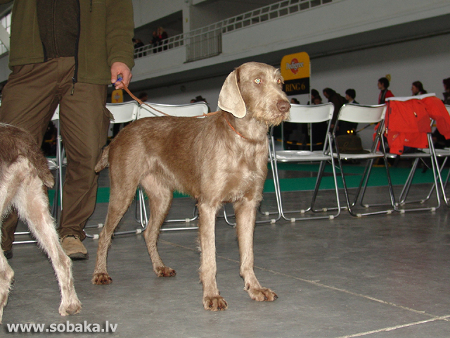 Slovāku asspalvainais putnusuns (Slovakian Wire-haired Pointing Dog)