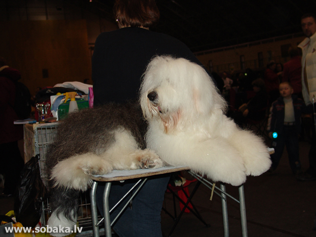 Bobteils (Old English Sheepdog - Bobtail)