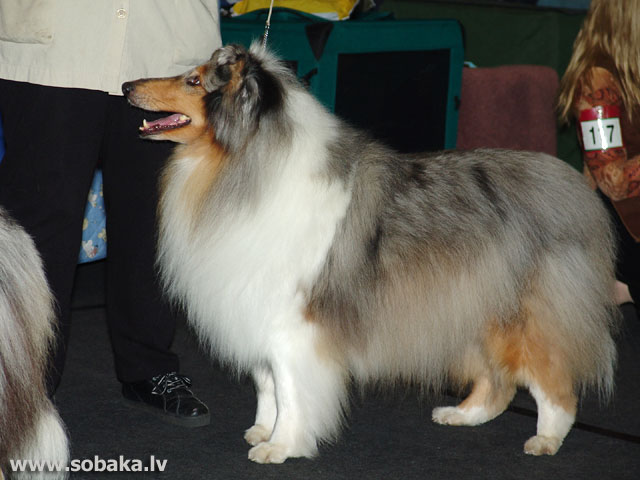 Garspalvainais kollijs (Collie Rough)