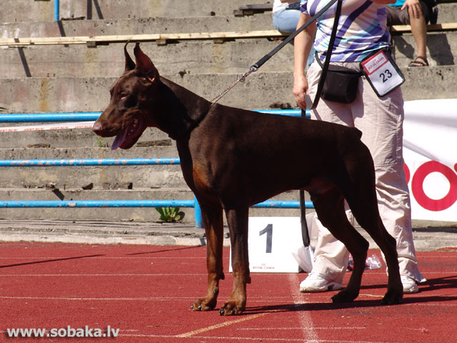 Dobermans 