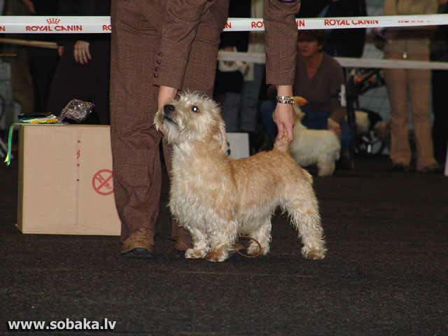 Īru Glenofīmālas terjers (Irish Glen Of Imaal Terrier)