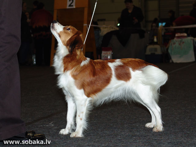 Holandes pīļusuns (Small Dutch Waterfowl Dog)