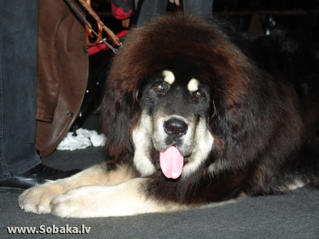 Tibetas mastifs 