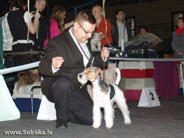 Asspalvainais foksterjers 