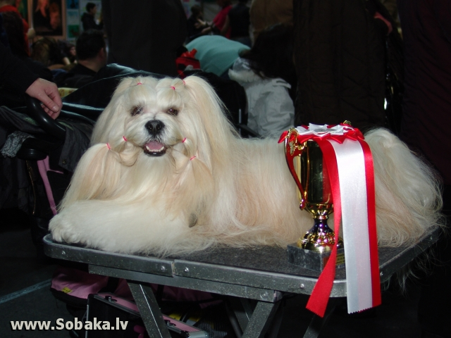 Lhasas apso 