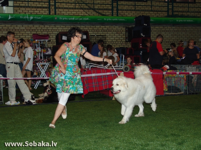 Pireneju kalnu suns 